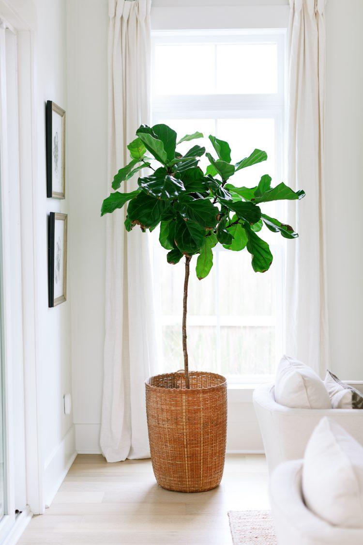 a tall, healthy house plant